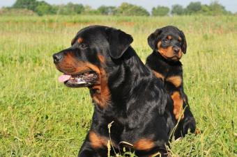 https://cf.ltkcdn.net/dogs/images/slide/90531-850x565-Rottweiler.JPG
