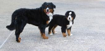 https://cf.ltkcdn.net/dogs/images/slide/90540-850x416-Bernese_Mountain_Dogs.JPG