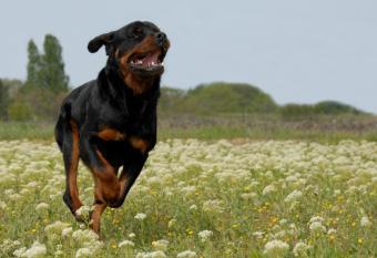 https://cf.ltkcdn.net/dogs/images/slide/90543-836x574-Rottweiler_running.JPG