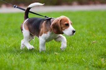 https://cf.ltkcdn.net/dogs/images/slide/90575-849x565-walking_puppy.JPG