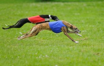 https://cf.ltkcdn.net/dogs/images/slide/90598-850x543-Greyhounds_lure_coursing.jpg