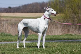 https://cf.ltkcdn.net/dogs/images/slide/90601-849x565-Retired_Racing_Greyhound.jpg