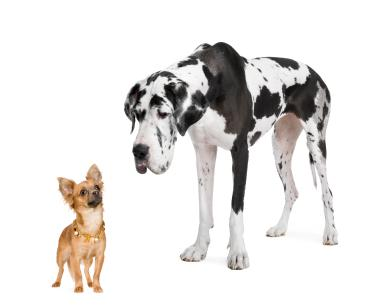Chihuahua and Great Dane