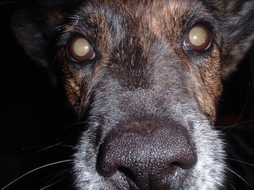 Elderly dog with mature cataracts