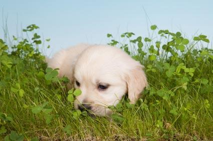Puppy eating grass