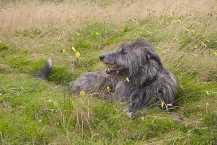 Scottish Deerhound; © Roger Pilkington | Dreamstime.com