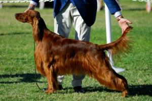 Showing an Irish Setter