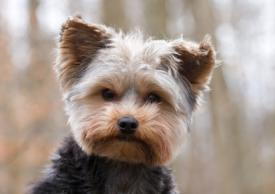 Yorkshire Terrier Characteristics Facts And Photos Lovetoknow