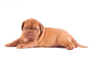 French Mastiff pup
