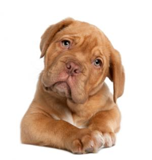 French Mastiff Aka Dogue De Bordeaux Lovetoknow