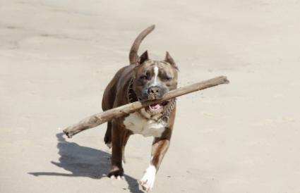 Pit Bull Terrier retrieving a stick