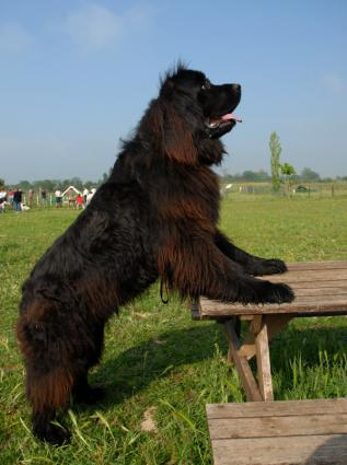 Newfie ready for a picnic
