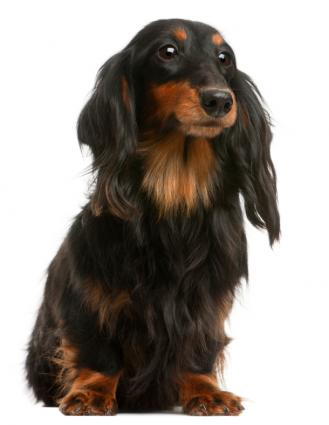 Long Coat Dachshund