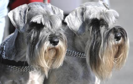 two miniature schnauzer dogs