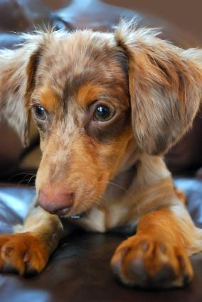 A Chiweenie - A mix between a Chihuahua and a Dachshund