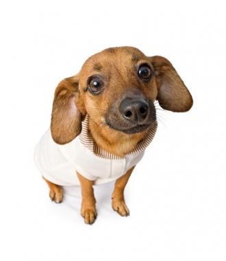 Chiweenie; Copyright Adogslifephoto at Dreamstime.com