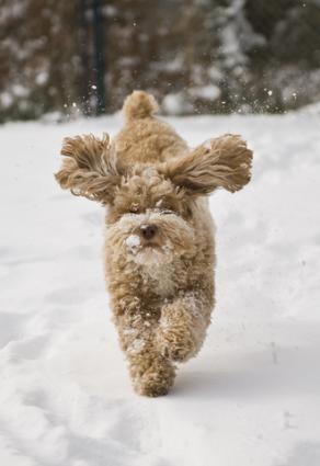 Cockapoo running in the snow; copyright Caleb Foster at Dreamstime.com