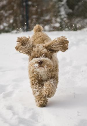 Cockapoo running in snow