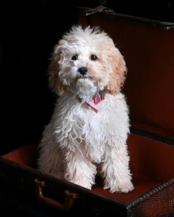 Apricot Cockapoo; copyright James Martin at Dreamstime.com