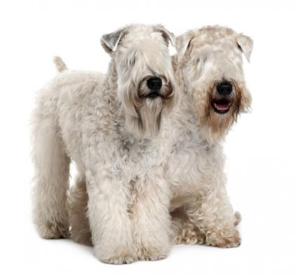 Two Soft Coated Wheaten Terriers