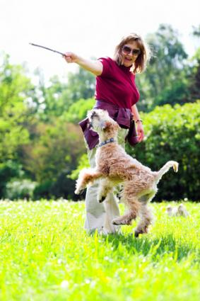 Wheaten playing with his companion; Copyright Denis Babenko at Dreamstime.com