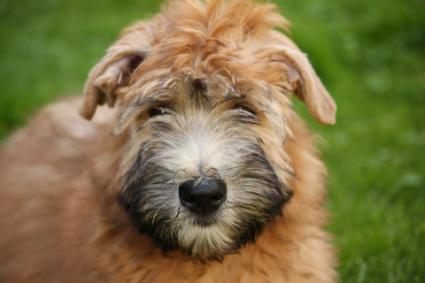 Young Wheaten; Copyright Martellostudio at Dreamstime.com