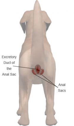 Dog anal gland system