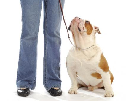 Dog watching leader for next command; Copyright Willeecole at Dreamstime.com