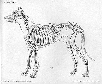 Animal anatomical engraving