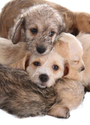 Mixed Breed Dogs More Safe To Have With Cats