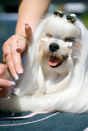 Maltese being wrapped and banded to protect hair from staining