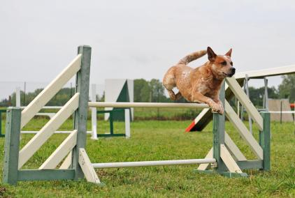 Cattle Dog jumping a hurdle