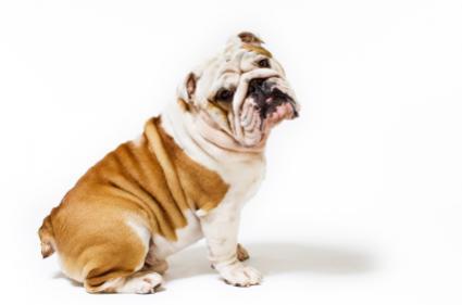 Pretty Bulldog