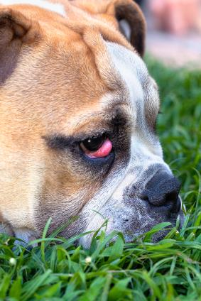 Bulldog with a case of cherry eye