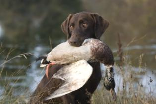 Labrador retrieving game