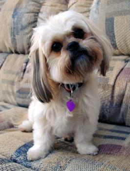 10 best dog breeds for apartment living lovetoknow