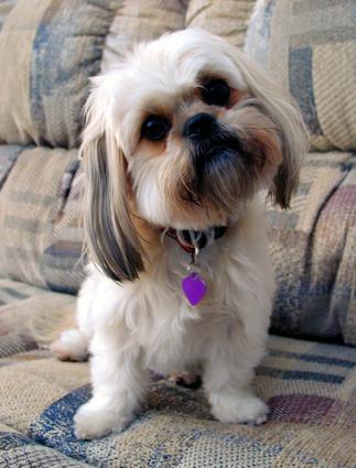 best dog breeds for apartment living lovetoknow. Black Bedroom Furniture Sets. Home Design Ideas