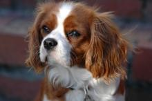 Cavalier King Charles Spaniel and family