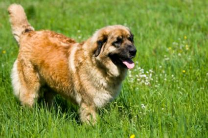 Caucasian Ovcharka dog