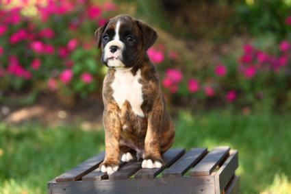 sitting Boxer puppy