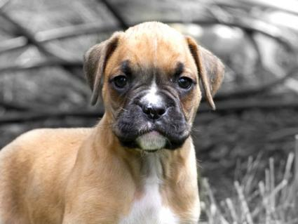 close-up of boxer puppy