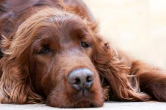 Lethargic dog
