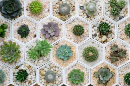 Cactus plant variety