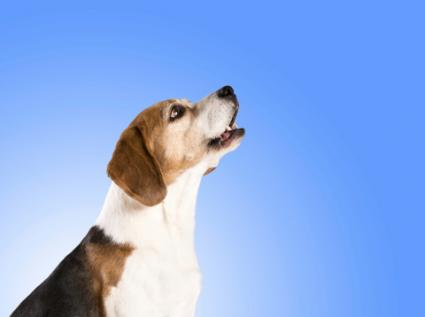 Dog with blue background