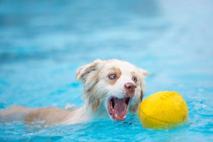 Australian Shepherd Catching Football in Pool