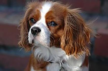 Cavalier king charles spaniels blenheim cavalier thecheapjerseys Image collections