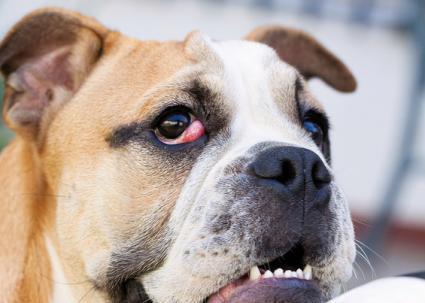 Dog Protruding Eye Third