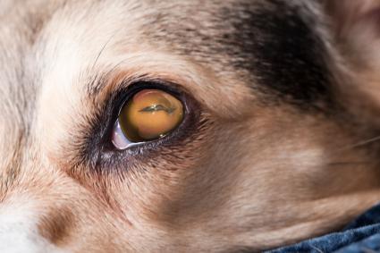 dog eye issues