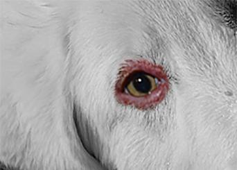 how to fix a dog sore eye