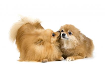 A pair of Pomeranian dogs